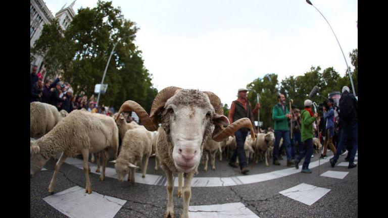 Ασυνήθιστο θέαμα στη Μαδρίτη: Πρόβατα κατέκλυσαν τους δρόμους | tanea.gr