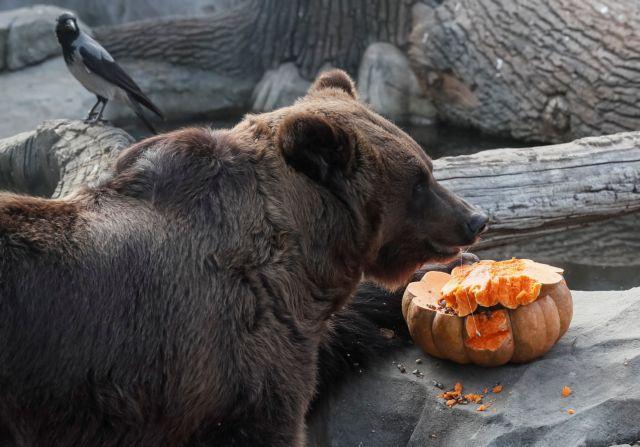 Και οι ένοικοι του ζωολογικού κήπου του Κιέβου γιόρτασαν το Halloween   tanea.gr