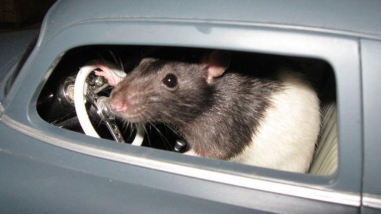 Ερευνητές έμαθαν σε ποντίκια να... οδηγούν πολύ μικρά αυτοκίνητα | tanea.gr