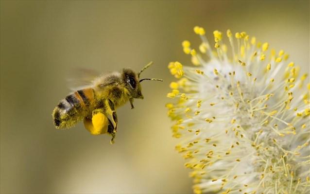 Οι μέλισσες ανακηρύχθηκαν τα πιο σημαντικά έμβια όντα στη γη | tanea.gr