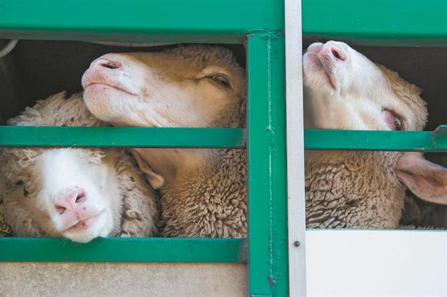 Η δυστυχία του να είσαι πρόβατο | tanea.gr
