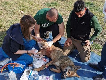 Λύκαινα καρφώθηκε σε κάγκελα – Επιχείρηση διάσωσης από τον Αρκτούρο | tanea.gr