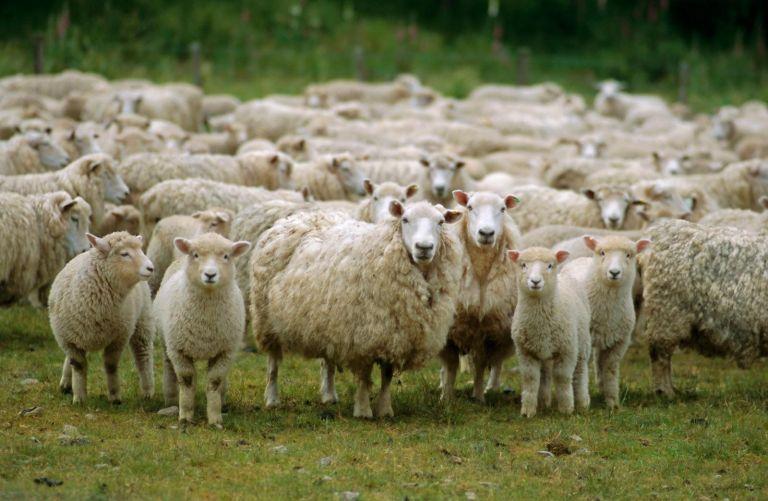 Κρήτη: Ενα πρόβατο με GPS στην κουδούνα πρόδωσε τους ζωοκλέφτες   tanea.gr