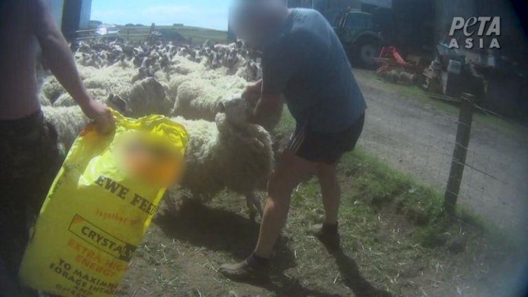 Βαρβαρότητα: Κτηνοτρόφος γρονθοκοπούσε πρόβατα στο κεφάλι | tanea.gr