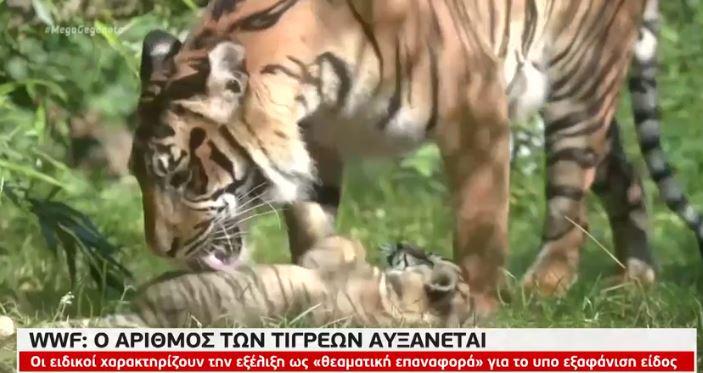 Αυξάνεται ο αριθμός των τίγρεων σύμφωνα με το WWF   tanea.gr