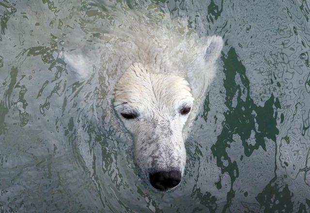 Δραματικές προβλέψεις των επιστημόνων για τις πολικές αρκούδες | tanea.gr