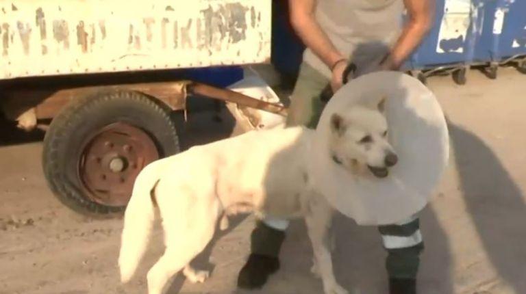 Επιστρέφει στο σπίτι του ο Έκτορας, ο σκύλος που είχε μαχαιρωθεί βάναυσα στη Νίκαια | tanea.gr