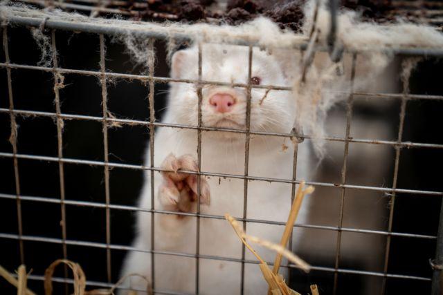 Βιζόν : Ευθανασία σε 2.500 ζώα – Αγωνία για τη μετάλλαξη του ιού   tanea.gr