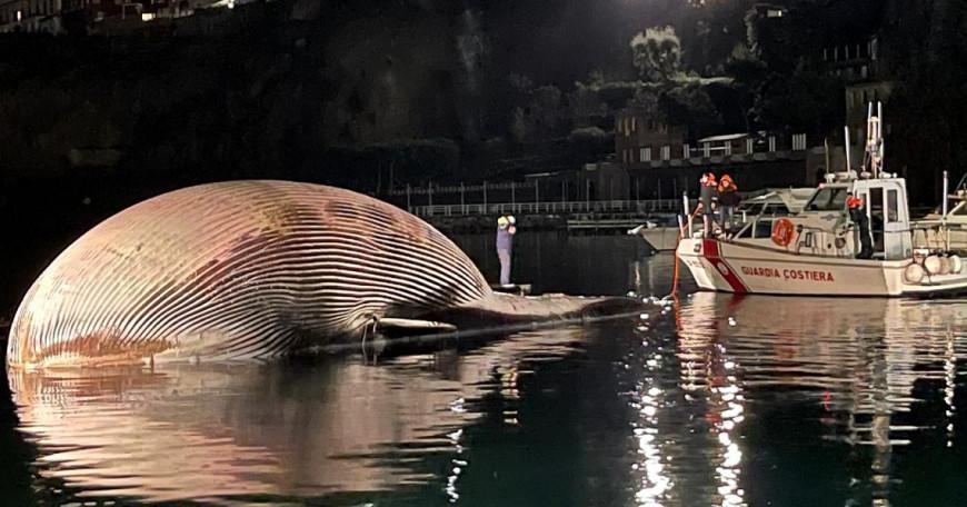 Ιταλία : Βρέθηκε νεκρή μια από τις μεγαλύτερες φάλαινες που έχουν εντοπιστεί ποτέ στη Μεσόγειο