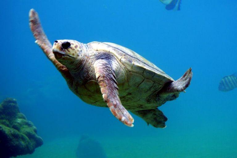 Σπάνια ωοτοκία χελώνας καρέτα-καρέτα στη Λούτσα | tanea.gr