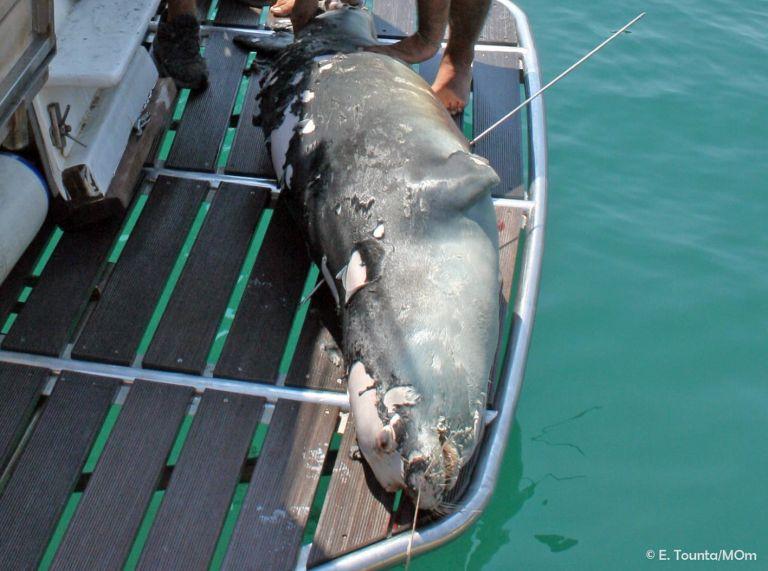 Αλόννησoς: Σκότωσαν με ψαροντούφεκο τον «Κωστή» – Ήταν η φώκια-μασκότ του νησιού   tanea.gr