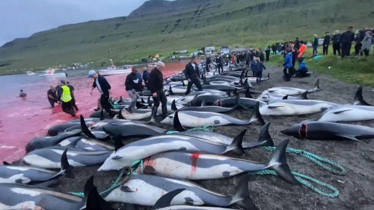 Ματωμένο φιόρδ: Διεθνής κατακραυγή για τη σφαγή 1.400 δελφινιών στις Φερόες της Δανίας | tanea.gr